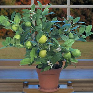 Citrus_Key_Lime_in_Container